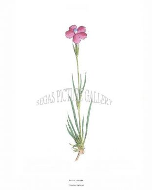 Neglected Pink (Dianthus Neglectus)